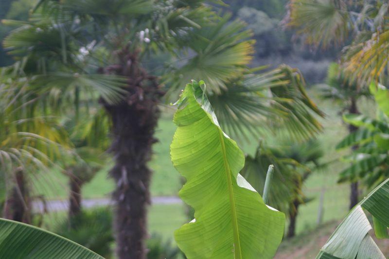 Montagenet, palmiers et bananiers
