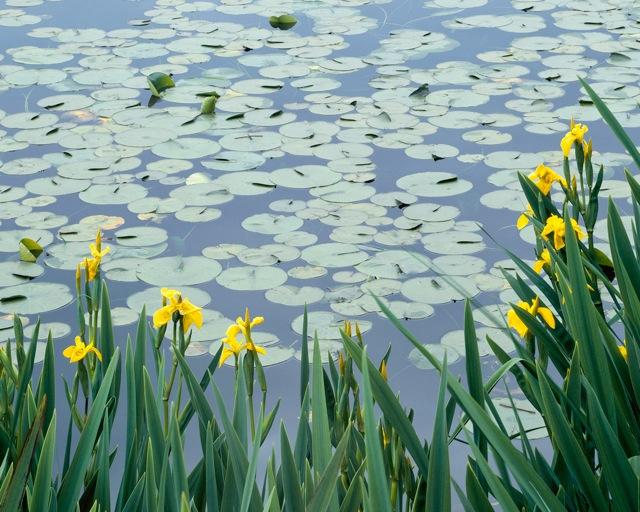 Montagenet, lotus