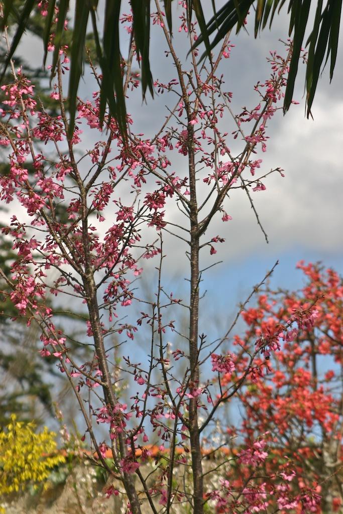 Prunus, Cornouiller du Japon et