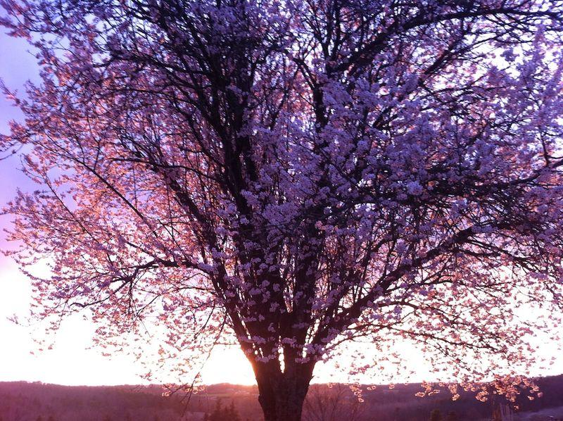 Montagenet, Prunus (1)