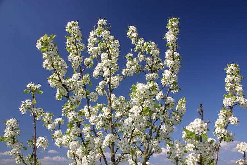 Montagenet, Poirier en fleurs 22:3:11