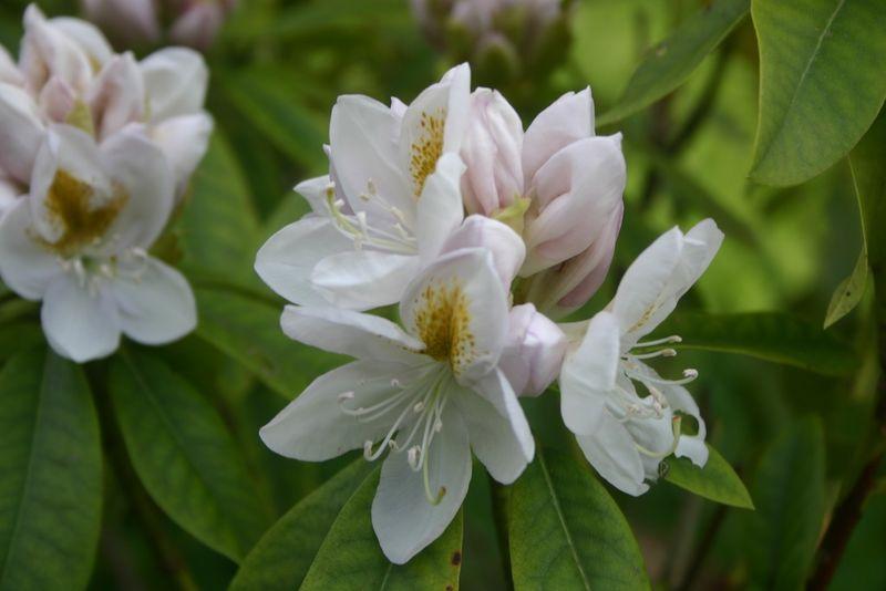 Montagenet, rhododendron 2