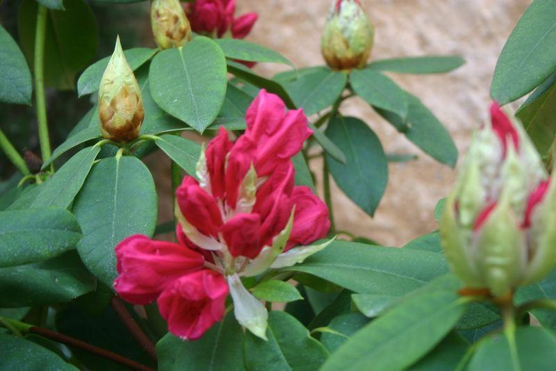 Montagenet, rhododendron 1