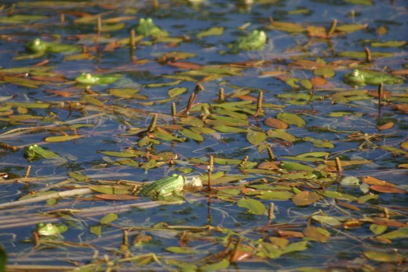 Montagenet, grenouilles
