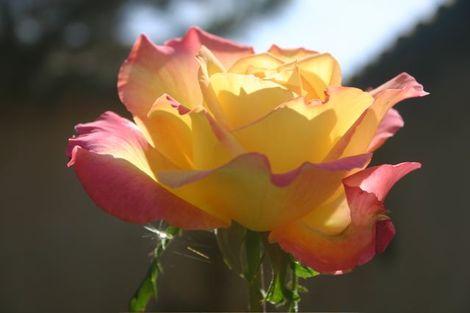 Rose_montagenet_21907