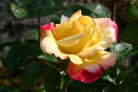 Montagenet_rose