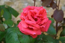 Montagenet_rose_2008_1