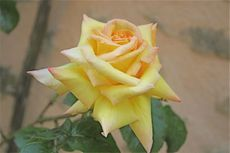 Montagenet_rose_2008_2