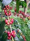Coffee_berries_1